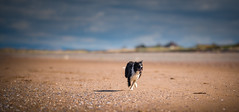 Brumming Along (JJFET) Tags: border collie sheepdog dog