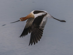 American Avocet, Recurvirostra americana (bruce_aird) Tags: