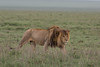 Donald Trump (Ring a Ding Ding) Tags: africa bigcat lion ndutu nomad pantheraleo serengeti tanzania action cat mane nature predator safari walking wildcat wildlife ngc