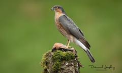 AC8I8017-1 (Dessie Loughery) Tags: sparrowhawk