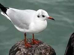 Black headed Gull in Venice