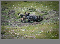 Flickr--_WLD9626.jpg (frankpaliphotography) Tags: silver fox winter cute mammal one crossfox younganimal vulpes background nature snow furry looking gray wild wildlife animal predator crossing fur park green cross isolated red young white