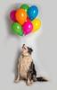 Will Studio Balloons (Chris Willis 10) Tags: will balloons star studio pets cute dog animal fun small studioshot canine playful puppy birthday multicolored toy domesticanimals purebreddog celebration mammal balloon joy cheerful up bordercollie