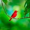 暗红唐纳雀 (KevinBJensen) Tags: 大自然 野生动物 鸟类 户外 沒有人 佳能