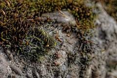 Moos Macro (mmbottrop) Tags: moss plant pentax k3 tamron 90 macro wall bud 1 weed bloom green
