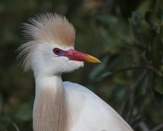 A Cattle Egrets best look!