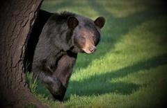 Momma Bear Peek-A-Boo(200.0 mm) (Direwolf131) Tags: