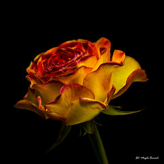 Rose (Magda Banach) Tags: canon canon80d sigma150mmf28apomacrodghsm blackbackground colors flora flower macro nature plants rose yellow