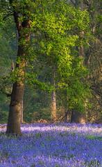 Bluebells (jactoll) Tags: ragley warwickshire spring bluebells woodland light landscape sony a7iii 70200mmf4 jactoll