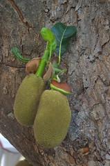 Jackfruit (AN07) Tags: thailand jackfruit