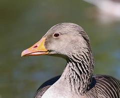 Goose (LuckyMeyer) Tags: bird goose brown black