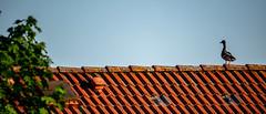 Ein Erpel auf dem Dach (p.schmal) Tags: olympuspenf hamburg farmsenberne erpel