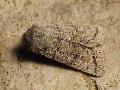 Orthosia gracilis - Powdered Quaker - Ранняя совка тёмно-серая