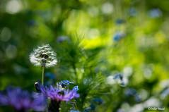 Petite scène abstraite dans le jardin (didier95) Tags: fleur jardin abstrait nature pissenlit jaune bleu