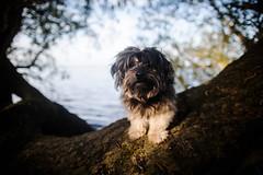 19/52 - In the shadows. (Kirstyxo) Tags: teddy cute dog trees shadow grafhamwaters 1952 52weeksfordogs 52weeksfordogs2018 52weeksfordogs18