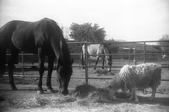 The Breakfast Club (squirtiesdad) Tags: horse goat animal hay corral breakfast bwfp diyfilmscanning selfdeveloped monochrome epson v600 argus a2b blackandwhite bw analogue analog aristaedu arista iso100 35mm film