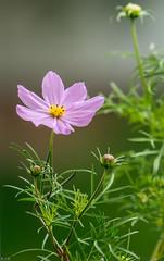 Flowers-4 (raghunandanboggarappu) Tags: raghunandanboggarappu flowers homegrown