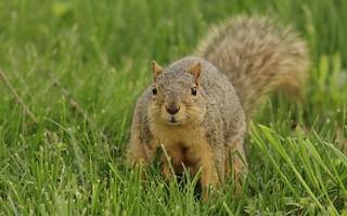 Squirrel, Morton Arboretum. 426 (EOS)