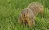 Squirrel, Morton Arboretum. 426 (EOS) (Mega-Magpie) Tags: canon eos 60d nature outdoors cute squirrel green grass wildlife the morton arboretum lisle il illinois dupage usa america