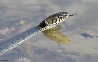Couleuvre à colier (Natrix natrix)