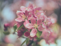 The last spring blossoms (A_Peach) Tags: cctv17 frühling park flower plant nature availablelight vintagelens manualfocus adaptedlens dof bokeh mft m43 lumix panasonic microfourthird micro43 apeach anjapietsch panasoniclumixgx80 spring blossoms cmountcctv35mmf17