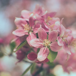 The last spring blossoms thumbnail