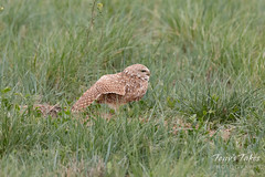 Burrowing Owl stretches its wings