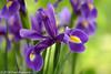 """In our garden,  """"Iris"""" (Fred / Canon 70D) Tags: ef100mmf28lmacroisusm canon70d canoneos canon garden plant flowers iris eefde closeup"""