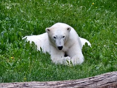 Vera - Charlotte - Eisbären - Tiergarten Nürnberg (ElaNuernberg) Tags: eisbärvera eisbärcharlottealiaslottchen tiergartennürnberg nurembergzoo zooanimals zootiere eisbär polarbear ursusmaritimus ourspolaire orsopolare niedźwiedźpolarny jääkaru ijsbeer isbjorn