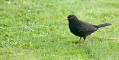 Blackbird (falkirkbairn) Tags: blackbird sandwick shetland