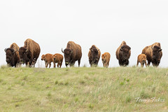 Bison crest a hill on the Great Plains