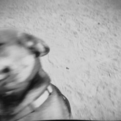 Glenn Ansco Panda03 (thesnapshotinitiative) Tags: ansco panda vintage film fomapan 100 six20 620 caffenol double exposure 6x6 snapshot fingers dog park bw black white