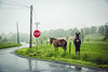 Mules (Jen MacNeill) Tags: mule mules farm animal lancaster country rural foggy weather landscape farming amish county pa pennsylvania spring wet rain stop sign road street