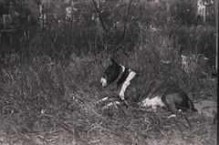 20052018008 (samitrofanov) Tags: svema 25025 film home develop minoltax700 dog bullterier
