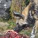 Wild dog eating meat III