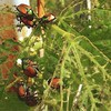 garden killers (HalcyonPhotos) Tags: garden beetles japanese beans plant insects color dying killers eaten leaves