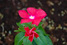 Vincas. (dccradio) Tags: lumberton nc northcarolina robesoncounty outdoors outside nature pink flower floral flowers flowerbed pinkvinca vinca vincas plant greenery leaf leaves soil topsoil nikon d40 dslr