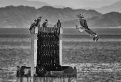 KITES 海辺のトンビ (Sign-Z) Tags: nikon d7200 18300mmf3556gvr kite bird sea monochrome bw モノクローム 海 鳥 トンビ 鳶 白黒