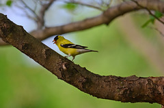 American Goldfinch (U.S. Fish and Wildlife Service - Midwest Region) Tags: finch male tree nature mn 2018 bird birding goldfinch may seasons minnesota perching spring wildlife animal