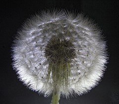 The perfect puff (ForestPath) Tags: dandelion puff seeds round lightfrombeneath focusstacking soft fuzzy intricate delicate ourfield home backyard spring may