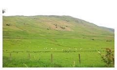 Campsie Fells. (Paris-Roubaix) Tags: campsie fells crow road sheep farming east dunbartonshire lennoxtown haughhead scotland