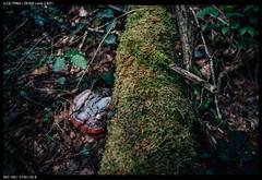 Fungi (Falcdragon) Tags: sonya7riialpha zeissloxia2821 ilce7rm2 liège belgium europe forests woods nature e emount fe femount fungi wood decay