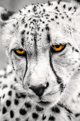 Cheetah Eyes 6-0 F LR 5-6-18 J180 (sunspotimages) Tags: animals animal cat cats bigcat bigcats cheetah selectivecolor zoosofnorthamerica zoos zoo nationalzoo fonz fonz2018 digitalmanipulation artistic artwork cheetahs