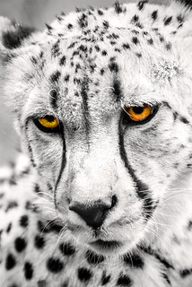 Cheetah Eyes 6-0 F LR 5-6-18 J180