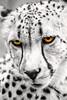 Cheetah Eyes 6-0 F LR 5-6-18 J180 (sunspotimages) Tags: animals animal cat cats bigcat bigcats cheetah selectivecolor zoosofnorthamerica zoos zoo nationalzoo fonz fonz2018 digitalmanipulation artistic artwork cheetahs