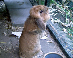 curious rabbit sam (ksvrbrg) Tags: rabbit curious lopeared