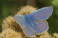 """Silver-Studded Blue (plebejus argus)(2) • <a style=""""font-size:0.8em;"""" href=""""http://www.flickr.com/photos/57024565@N00/207067688/"""" target=""""_blank"""">View on Flickr</a>"""