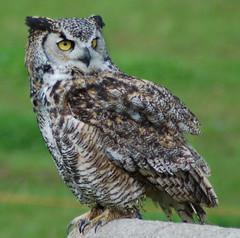 Great Horned Owl (Patrick Costello) Tags: canada bird d50 bc britishcolumbia explore owl greathornedowl grousemountain specanimal animalkingdomelite supremeanimalphoto avianexcellence