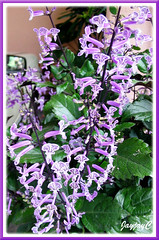 Potted Plectranthus 'Mona Lavender' (Lavender Spur Flower) in our tropical garden - July 2006