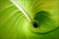 Swirl (Unknown User) Tags: spiral leaf explore swirl spirale feuille tourbillon